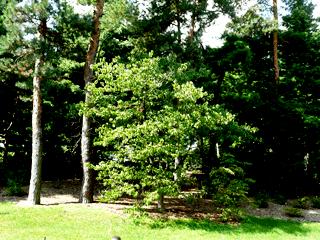Кизил - плодовый кустарник (2)