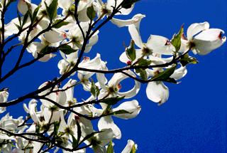Кизил - плодовый кустарник (6)