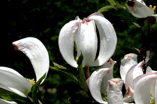 Кизил - плодовый кустарник (7)