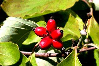Кизил - плодовый кустарник (8)