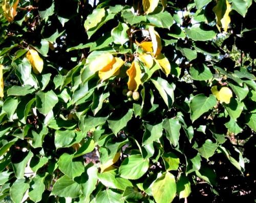 Выращивание киви - актинидия уход (7)