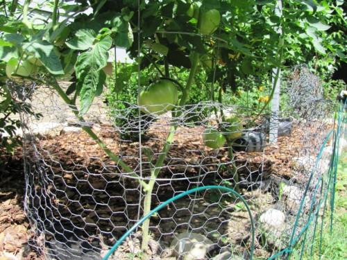 Болезни томатов и борьба с ними - болезни помидоров фото (4)