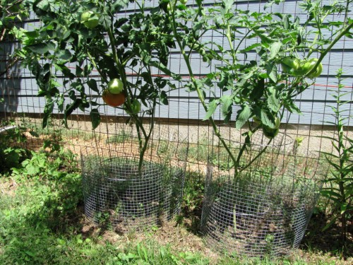 Болезни томатов и борьба с ними - болезни помидоров фото (5)