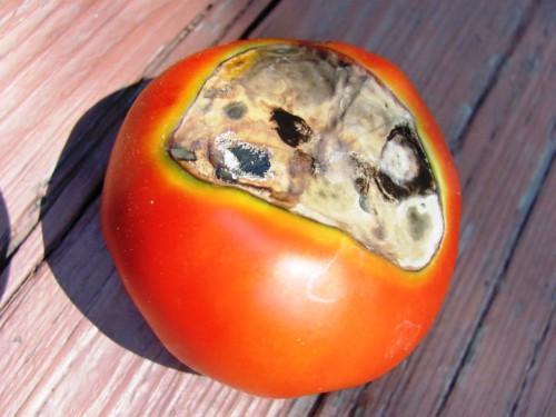 Болезни томатов и борьба с ними - болезни помидоров фото (9)