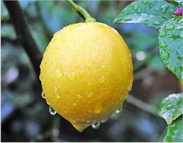 Дерево лимона дома - выращивание лимонов (2)