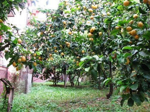 Дерево лимона дома - выращивание лимонов (4)