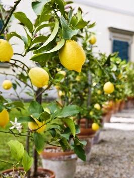 Дерево лимона дома - выращивание лимонов (5)