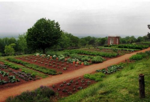 Овощи на даче - огород на даче (2)