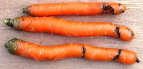 Уход за морковью (4)