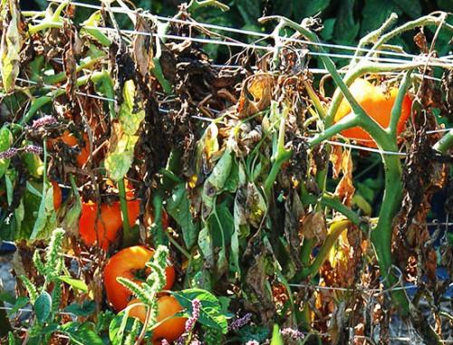 Болезни томатов и борьба с ними - болезни помидоров фото (1)