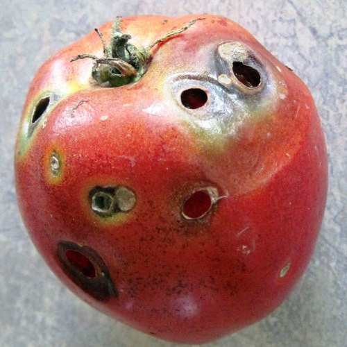 Вредители помидоров - защита от вредителей (1)