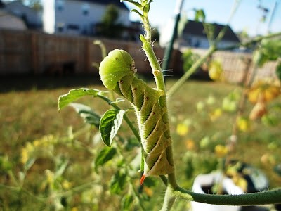 Вредители помидоров - защита от вредителей (4)