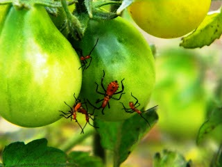Вредители помидоров - защита от вредителей (9)