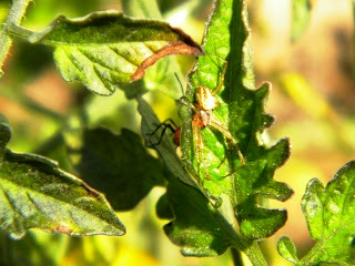 Вредители помидоров - защита от вредителей (12)