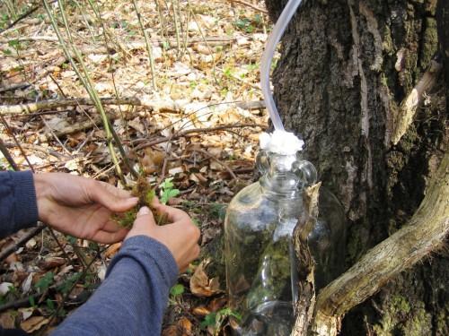 Сбор березового сока - сок березы (4)