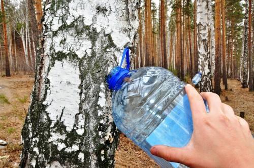 Сбор березового сока - сок березы (30)