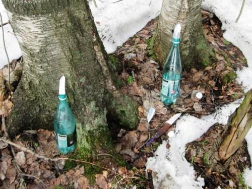 Сбор березового сока - сок березы (39)