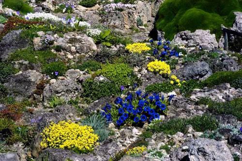 Альпинарий фото - растения для альпинария (24)