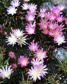 Альпинарий фото - растения для альпинария (31)