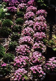 Альпинарий фото - растения для альпинария (36)