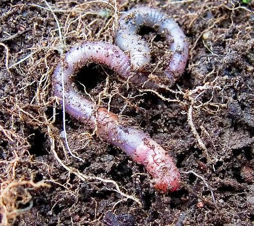 Биогумус - размножение червей (2)