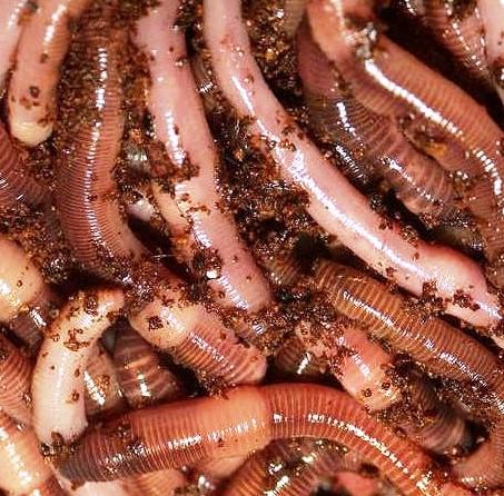 Биогумус - размножение червей (5)