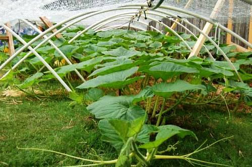 Выращивание тыквы (9)