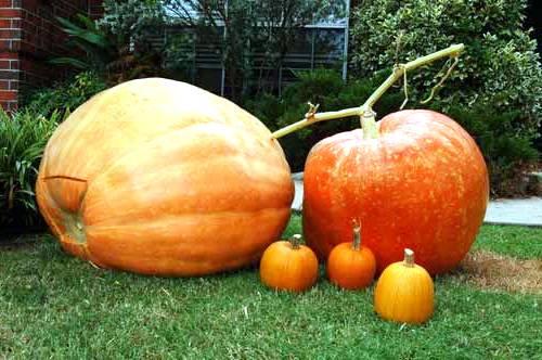 Выращивание тыквы (10)