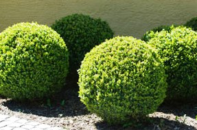 Как правильно обрезать деревья - обрезание плодовых деревьев (2)