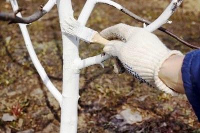 Чем белят деревья - побелка для деревьев (1)