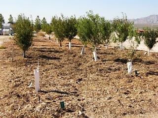 Чем белят деревья - побелка для деревьев (3)