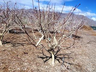 Чем белят деревья - побелка для деревьев (6)