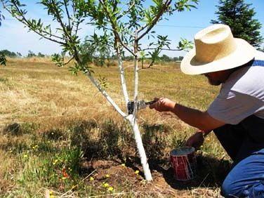 Чем белят деревья - побелка для деревьев (10)