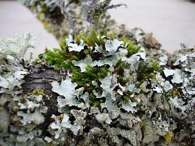Болезни плодовых деревьев - борьба с мхом (2)