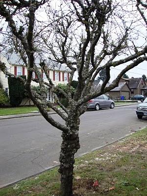 Болезни плодовых деревьев - борьба с мхом (7)