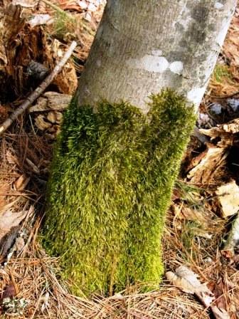 Болезни плодовых деревьев - борьба с мхом (11)