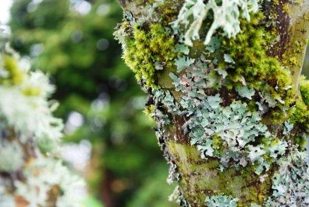 Болезни плодовых деревьев - борьба с мхом (14)