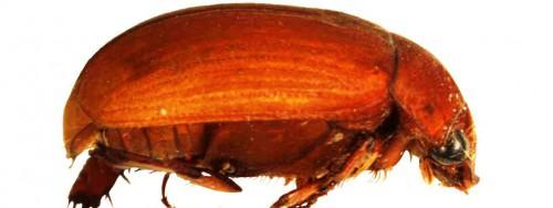 Борьба с майским жуком - борьба с личинкой майского жука (1)
