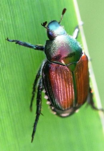 Борьба с майским жуком - борьба с личинкой майского жука (7)