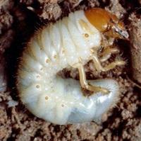 Борьба с майским жуком - борьба с личинкой майского жука (8)