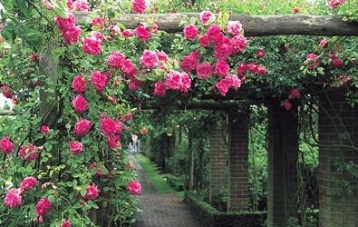 Садовые вьющиеся цветы - растение лиана - вертикальное озеленение своими руками (2)