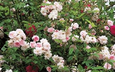 Садовые вьющиеся цветы - растение лиана - вертикальное озеленение своими руками (3)