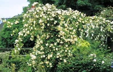 Садовые вьющиеся цветы - растение лиана - вертикальное озеленение своими руками (4)