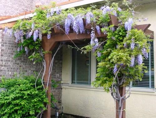 Садовые вьющиеся цветы - растение лиана - вертикальное озеленение своими руками (6)
