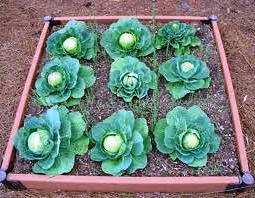 Выращивание овощей в теплицах - как вырастить капусту и помидоры (1)