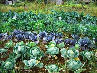 Выращивание овощей в теплицах - как вырастить капусту и помидоры (3)