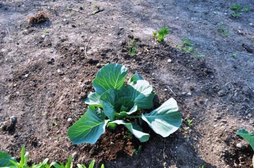 Выращивание овощей в теплицах - как вырастить капусту и помидоры (6)