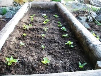 Выращивание раннего картофеля - картофель рассадой (1)
