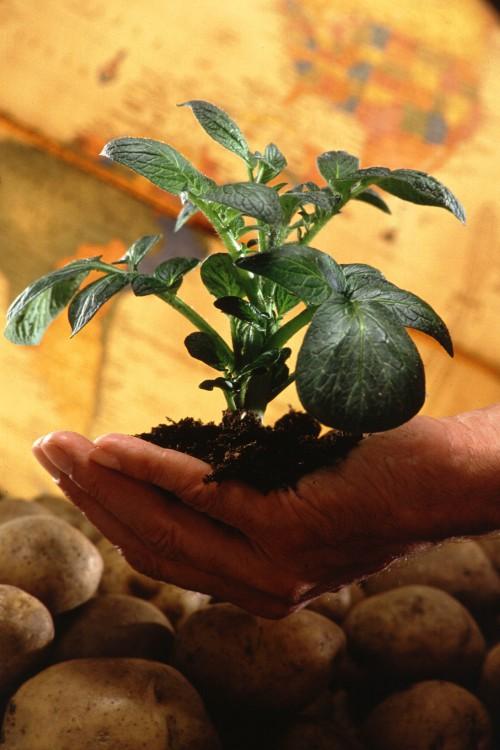 Выращивание раннего картофеля - картофель рассадой (2)
