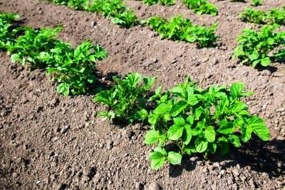 Выращивание раннего картофеля - картофель рассадой (3)